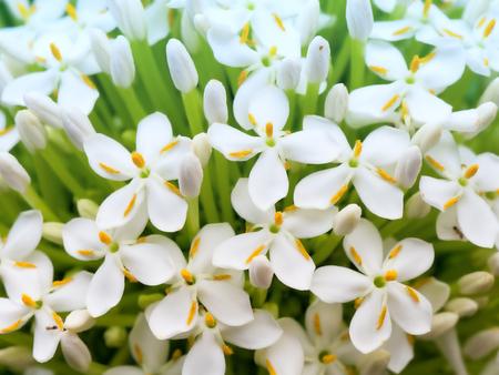 Siamese White Ixora flower. Macro close-up background.