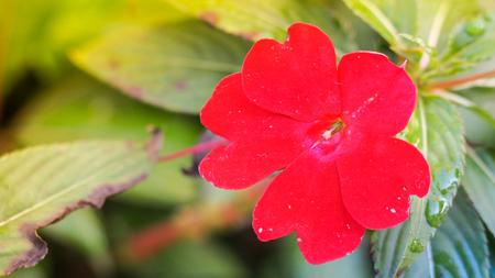 美しい赤いニューギニアインパティエンスの花。クローズアップと背景。