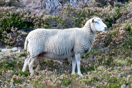 sheep farming in mountain pasture