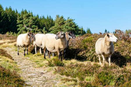 sheep farming in mountain pasture Foto de archivo