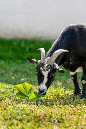 portrait of goat in meadow Foto de archivo