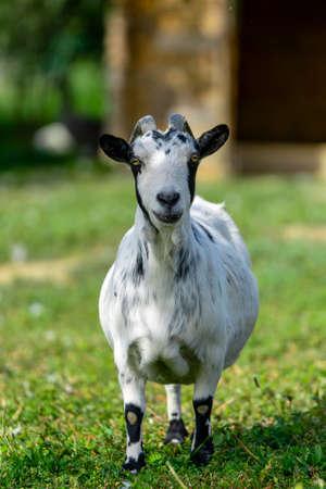 portrait of goat in meadow