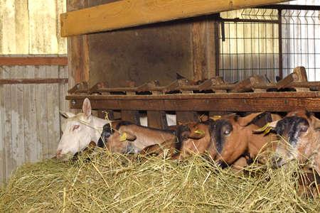 breeding of goats in barn