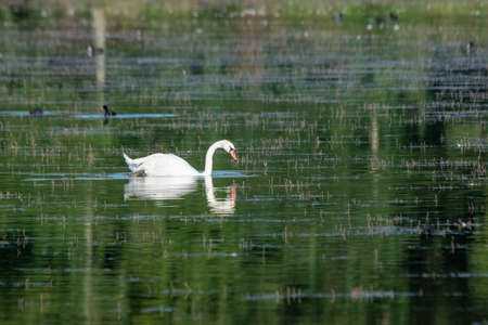 portrait of white swan on the lake 스톡 콘텐츠