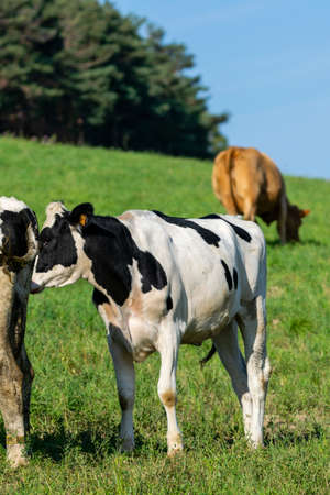 group of holstein cows in pasture