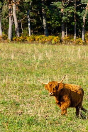 portrait of higland cow in pasture
