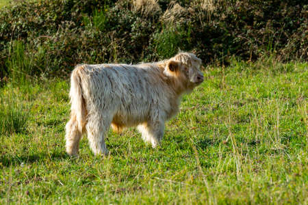 portrait of higland veal in pasture