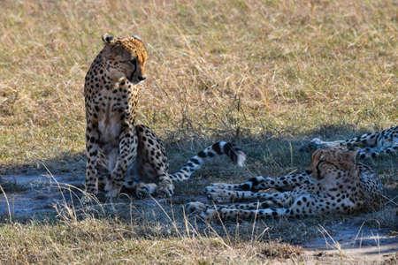 group of cheetahs in the savannah