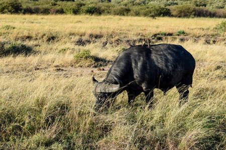 buffalo with birds in the savannah