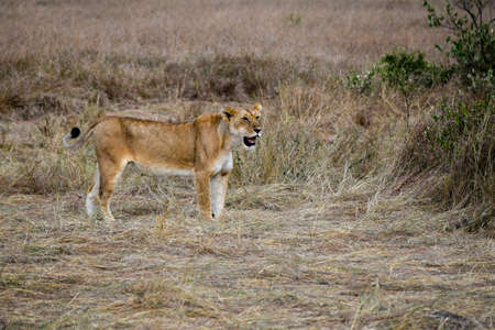 portrait of leo in the savannah