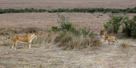 group of lions in the savannah
