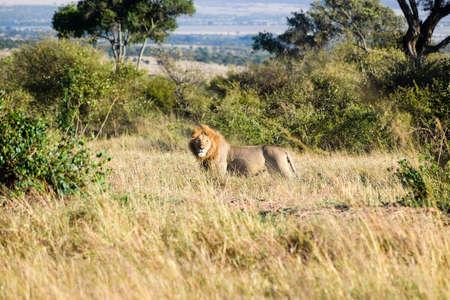 savannah landscape with lion