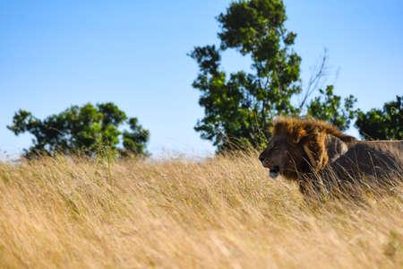 lion portrait walking in the savannah