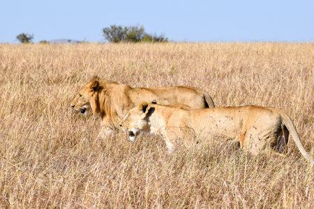 group of lions walking in the savannah