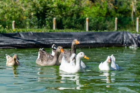 group of ganders and ducks on the water 版權商用圖片 - 157982784