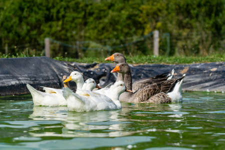 group of ganders and ducks on the water