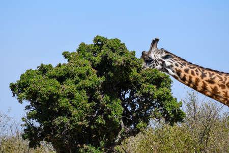 giraffe in the savannah Foto de archivo