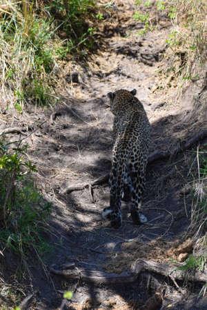 portrait de leopard dans la jungle