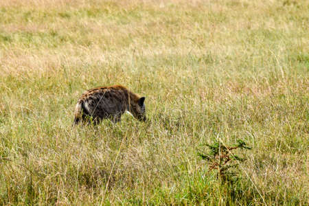 portrait of hyena in the savannah Stock fotó