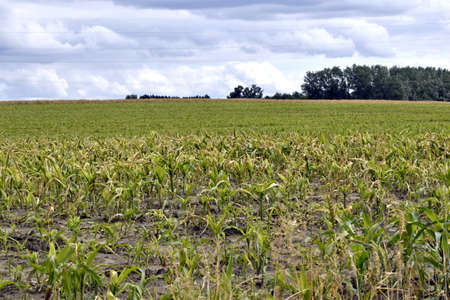 view of field of corn