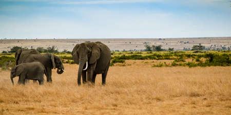 migration of elephants in amboseli park 免版税图像