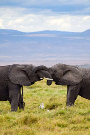 kiss of elephant in amboseli national park