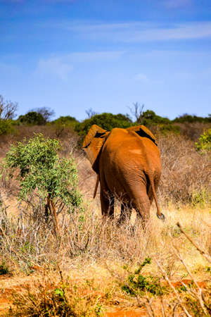 elephant in tsavo east national park