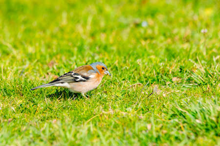 portrait of chaffinch in the grass