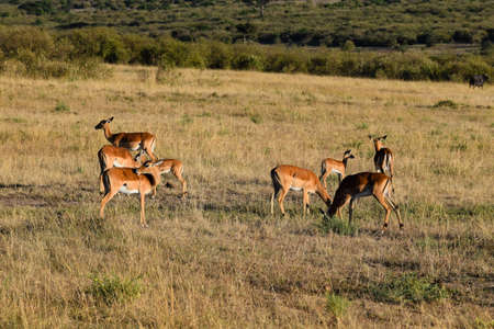 group of impalas in the savannah