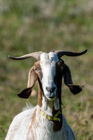 portrait of rove goat in pasture