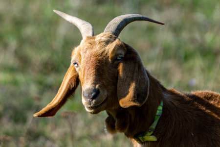 portrait of rove goat in pasture Reklamní fotografie