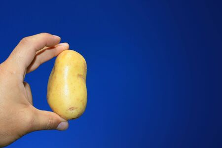 aloft: First crop of new potatos pulled from the round and held aloft set against a bright and clear blue background. Stock Photo