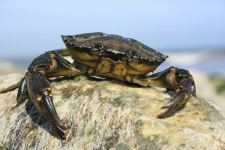 Small Sea Crab sitting atop some rocks on a beach in Dorset, England. Stock Photo