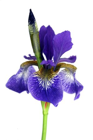 purple iris: A single solated Purple Iris set on an isolated white background