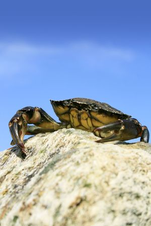 decapod: Small Sea Crab sitting atop some rocks on a beach in Dorset, England. Stock Photo