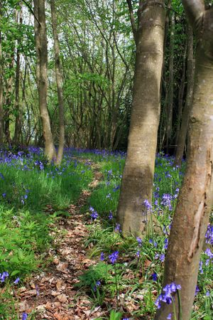 A quiet wooded area in rural Wiltshire, England, with spring BlueBell flowers lining a leaf strewn footpath through the woods.