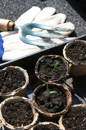 Organically grown tomatoe seedlings set in recycled paper plant pots, with a pair of gardening gloves and a hand held garden fork. Stock Photo