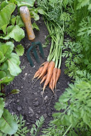 A first crop of organically grown carrots set amongst other growing carrots and beetroot in a small urban garden, with a small hand held garden fork.