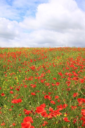 Portrait image of a red poppy field with yellow rape seed growing inbetween, set against a cloudy sky background. Stock Photo