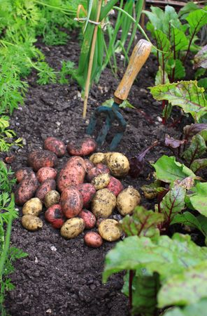 A first harvest of organically grown new potatoes, freshly dug from the ground lying on top of the soil next to a hand held garden fork , and amongst rows of growing beetroot, carrots and onions. Stock Photo