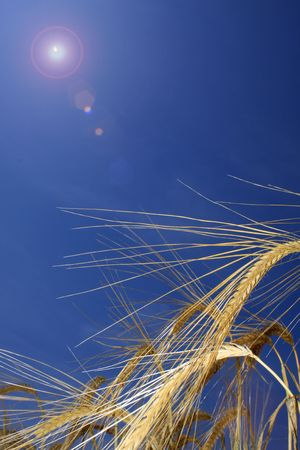 the flair: Portrait format image of golden wheat ears in a field, set against a brigh blue summer background with lens flair to to left of image.