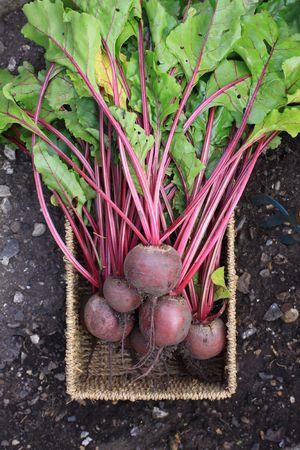 betabel: Reci�n cosechada org�nicamente cultivadas de remolacha. De cultivos con hojas y tallos a�n en un tipo de cesta de mimbre disparo desde arriba en un suelo de fondo.