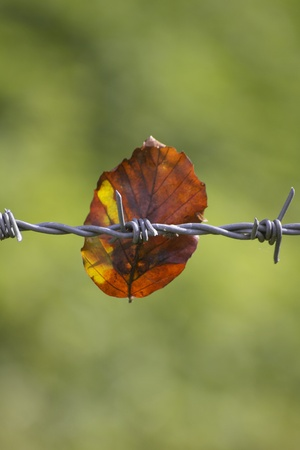 A single autumnal coloured leaf stuck on a piece of barbed wire fencing. set on a soft focus green background on a portrait format image. photo