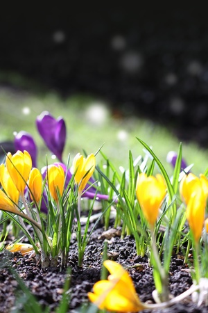 The first Spring blooms of yellow and violet crocus in the spring sunshine. Middle distance focus on a portrait format. Stock Photo