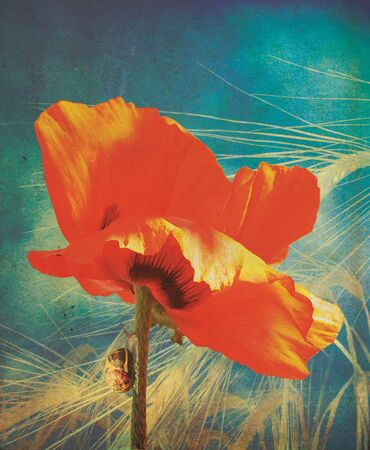 A red poppy head and stem set over a golden wheat background, with a snail crawling up the stem of the poppie, all with a grunge style effect photo