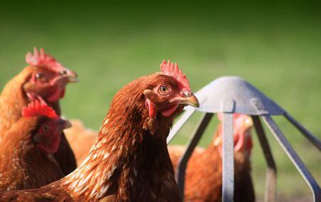 Brown outdoor free-range hens set on a landscape format next to a tin feeder  Room for copy around image  Stock Photo - 12714103
