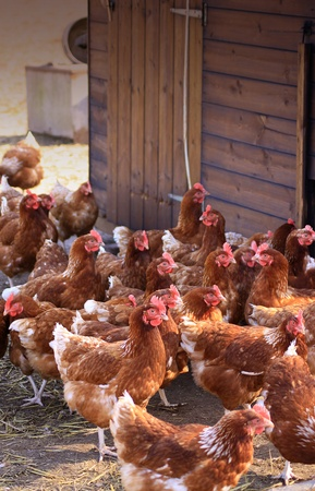 A group of free-range brown hens gathered next to a wooden shed or coup, located in a city farm environment  Set on a portrait format