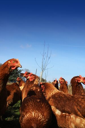 red hen: A low angled image of a group of brown free-range hens in a city farm environment, set against a rich blue sky background  Room for copy above image