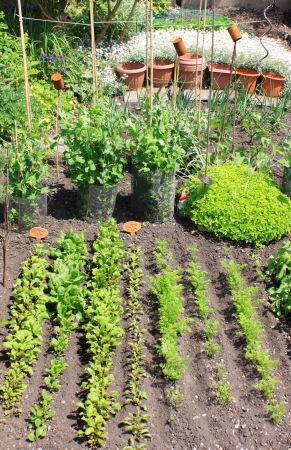 A small city vegetable garden plot with a variety of organically growing seasonable vegetables  Beetroot,carrots,spinach,radish,peas,runner beans,broad beans,onions and parsnip