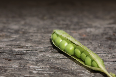 harvests: A close up view of a single pea pod with its peas exposed to view  Set on a landscape format on a wooden base